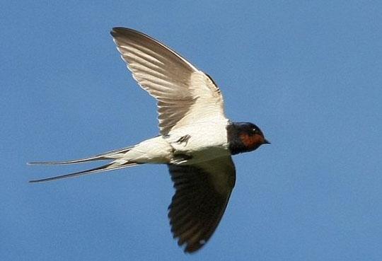 фото птиц ласточка.