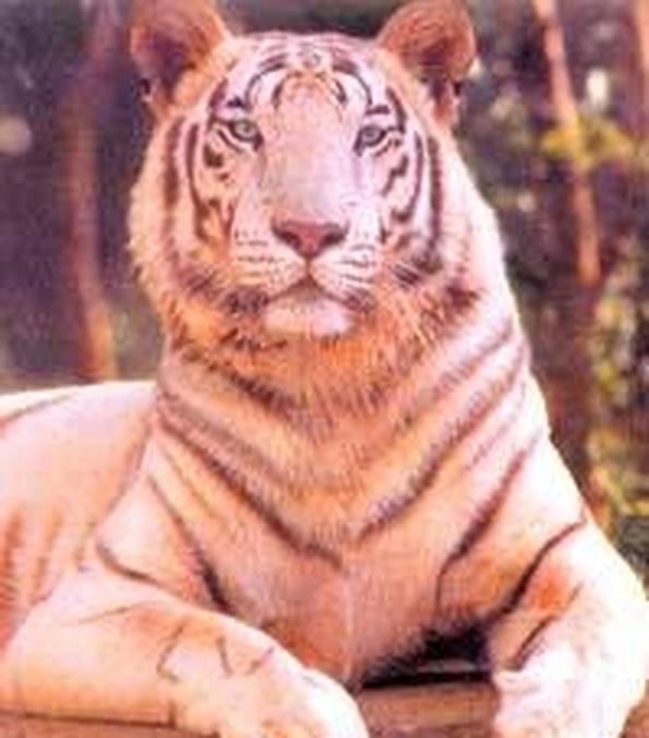 тигры знакомства