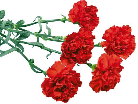 Цветы гвоздики на 9 мая