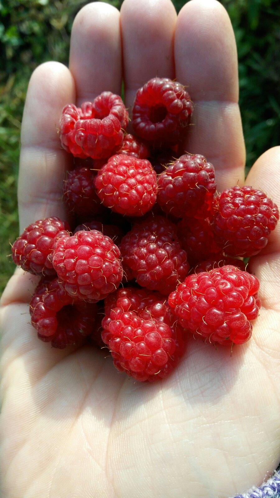 Открытка, картинки ягода малина нас к себе манила