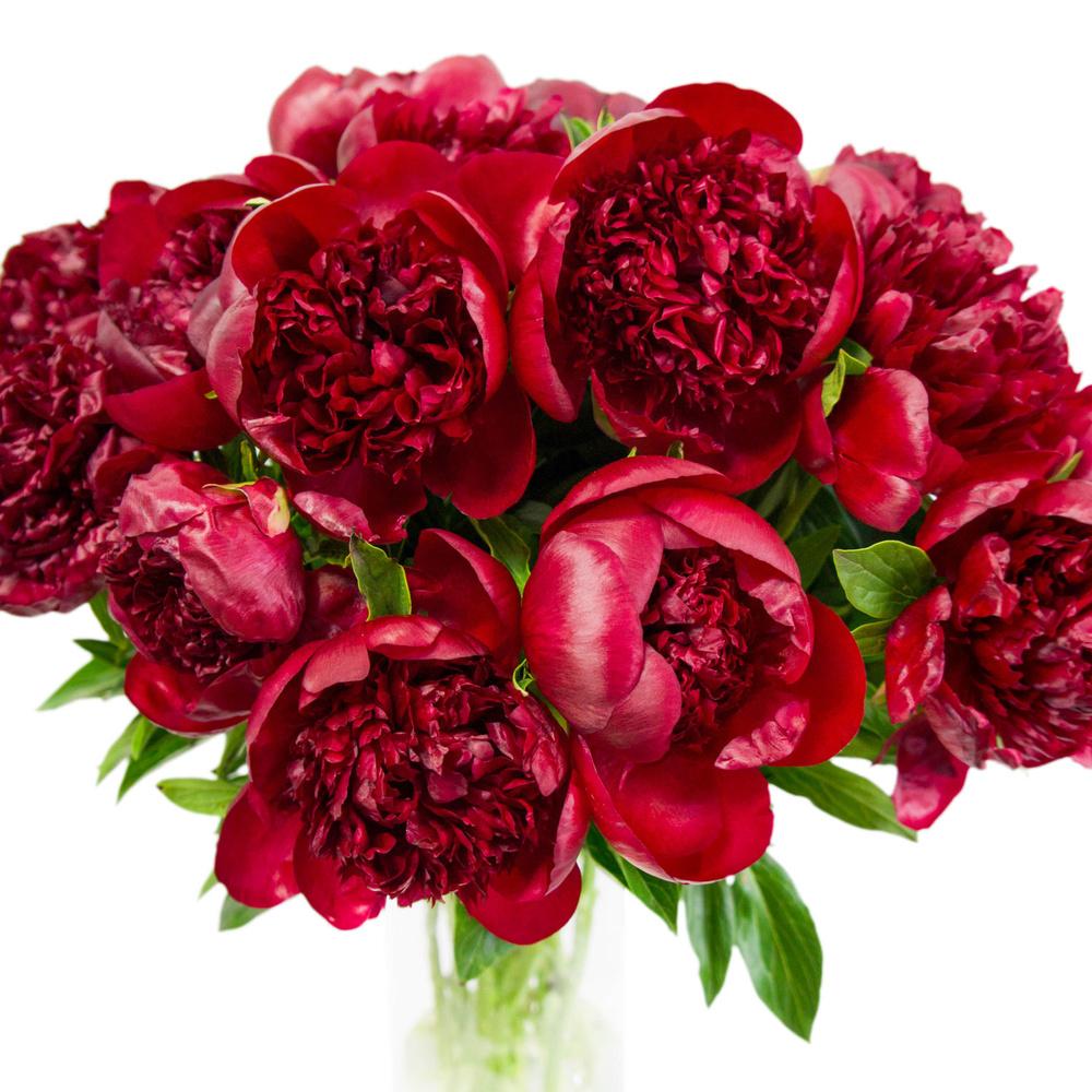 готовится цветы пионы бордовые фото какие монахини, как